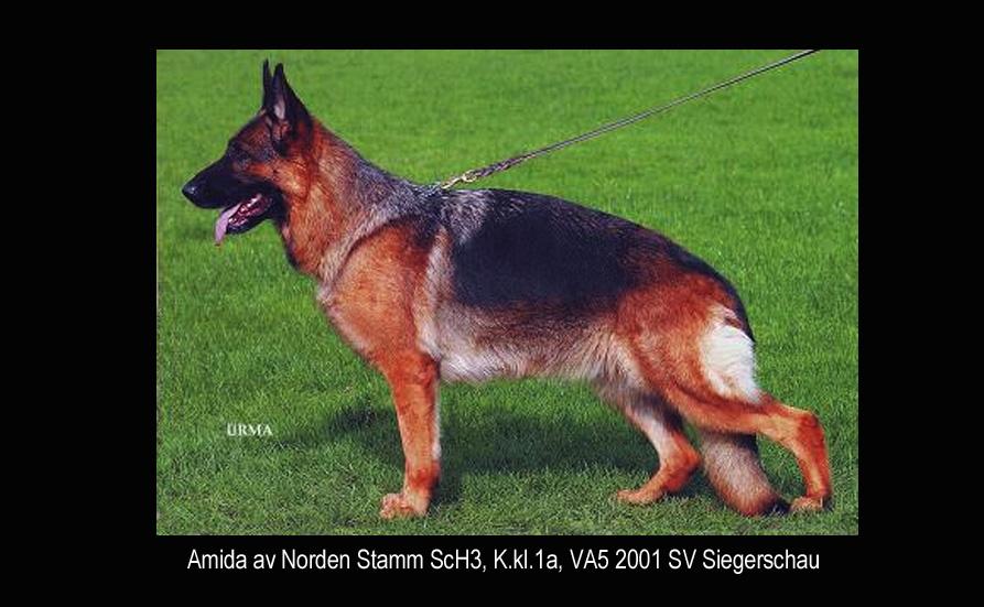 Amida av Norden Stamm SchH3, K.kl.1a, VA5 2001 SV Siegerschau.
